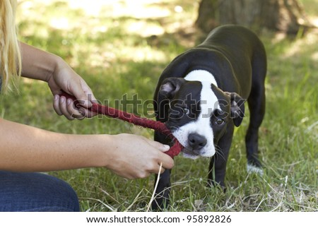Young Pit Bull puppy tugging a red play rope - stock photo