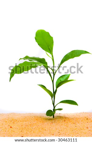 Young plant in desert, isolated on white background - stock photo