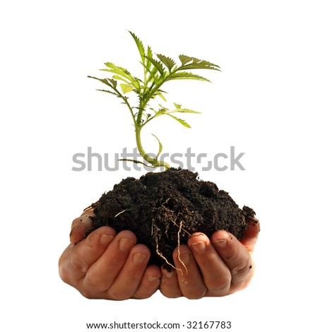 Young plant in human hands, isolated on a white background, please see some of my other parts of a images - stock photo