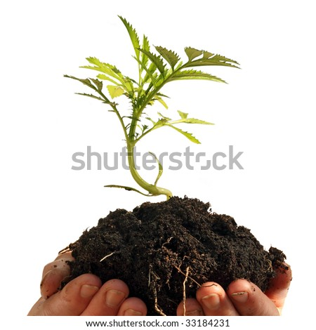 Young plant in human hands, isolated on a white background, please see some of my other parts of a body images - stock photo