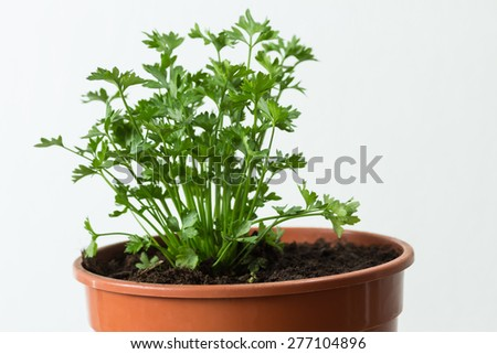 Young plant (parsley) in a pot on white background