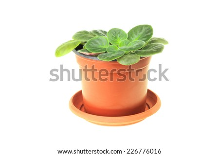 Young plant violet isolated on white background - stock photo
