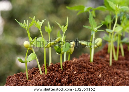Young plants growing from soil