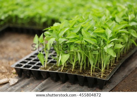 Young plants in black plastic container inside a plantation house