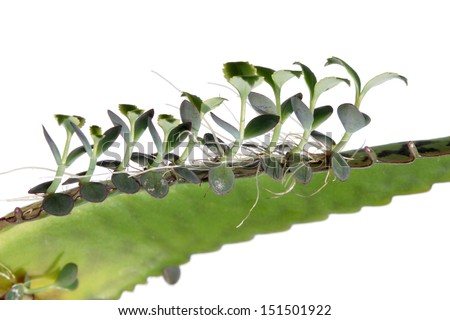 Young plants of Kalanchoe on leaf - stock photo