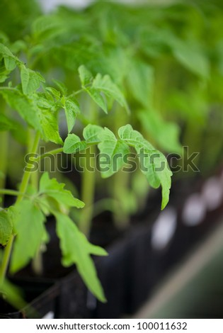 young plants of tomato - stock photo