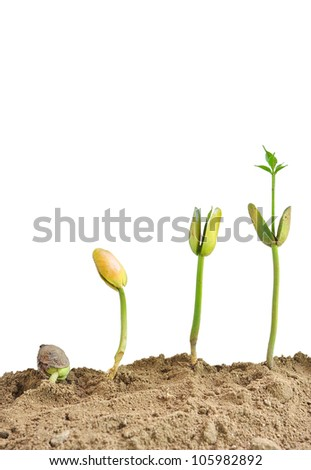 Young plants on the white backgrounds,santol seedlings - stock photo