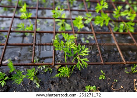 Young plants seedlings carrot under metal grid. Selective focus. - stock photo