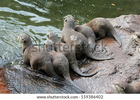 young playful Asian small-clawed otter Aonyx cinerea