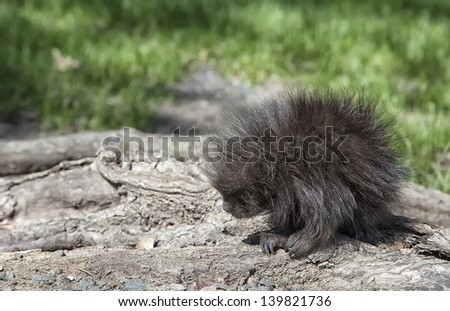 Young porcupine at base of a tree. - stock photo