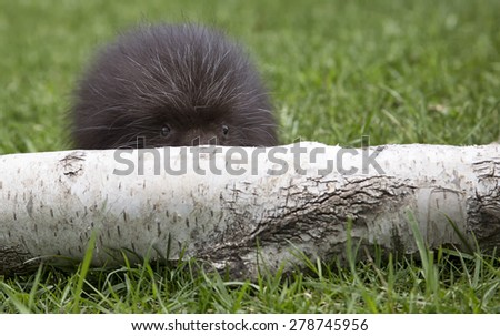 Young porcupine peers over a fallen birch log. - stock photo