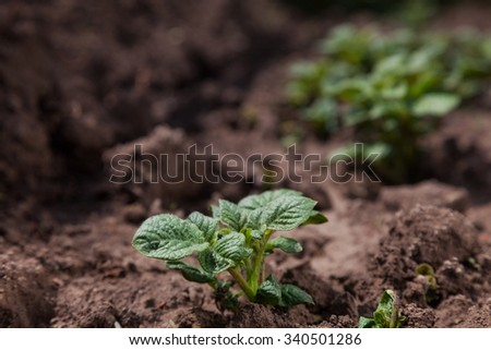 Young potato on soil cover. plant close-up - stock photo