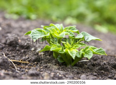 Young potato plant growing on the soil - stock photo