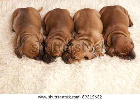 Young pretty dogs sleeping - stock photo