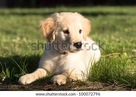 Young Pretty Golden Retriever Puppy Laying in Sun and Grass - stock photo