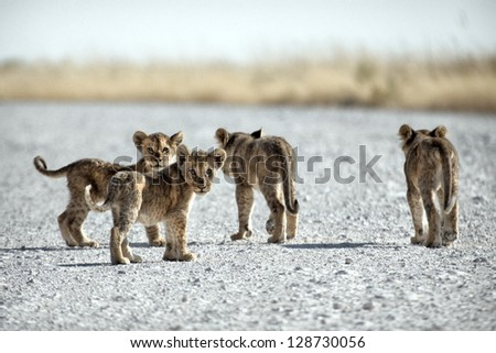 Young Pride / lion cubs - stock photo