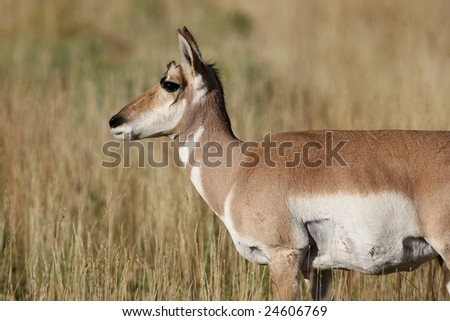 Young Pronghorn Antelope in the Yellowstone National Park