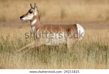 Young Pronghorn Antelope Running in the Yellowstone National Park