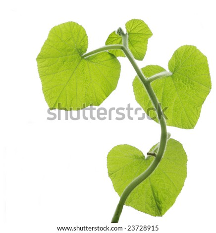 Young pumpkin leaves on vine isolated on white - stock photo