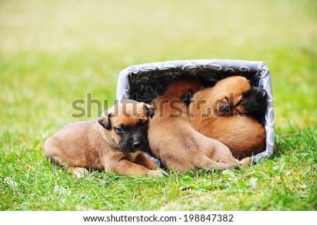 young puppies belgian shepherd malinois in box  - stock photo