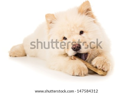 Young puppy chow chow gnaws bone - stock photo