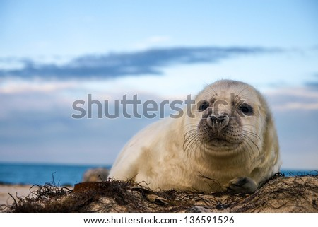 young puppy seal close up - stock photo