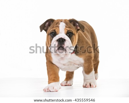 Young purebred dog indoors in studio on white background.