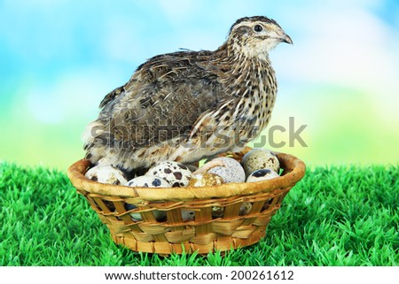 Young quail with eggs on grass on blue background - stock photo