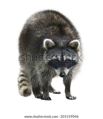 Young Raccoon Isolated On White Background - stock photo