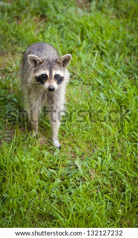 Young raccoon looking for food. - stock photo