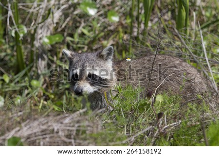 Young Raccoon looking for food in a Florida wetland - stock photo