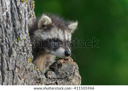 Young Raccoon (Procyon lotor) Looks Out from Knothole - captive animal
