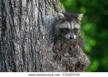 Young Raccoon (Procyon lotor) Looks Right - captive animal