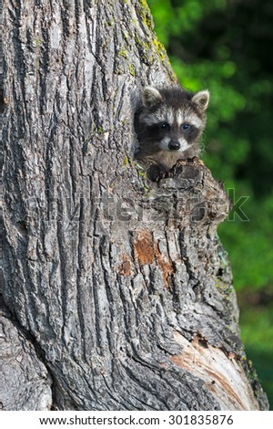 Young Raccoon (Procyon lotor) Peeks out of Tree - captive animal