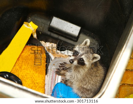 Young raccoon stuck in a garbage container looking for food - stock photo