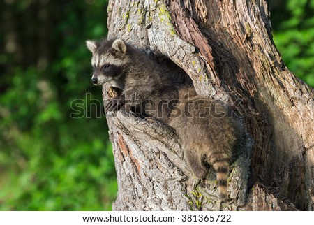 Young Raccoons (Procyon lotor) Crawl In and Out of Knothole - captive animals