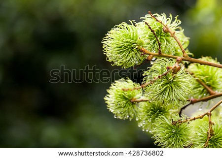 Young rambutan on tree