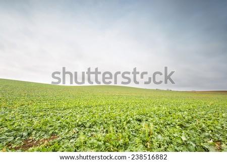 young rape seed field - stock photo