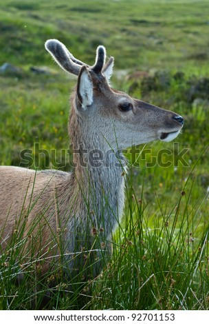 Young red deer pays attention and guards its companions - stock photo