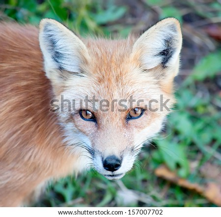 Young Red Fox Looking at Camera - stock photo