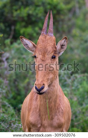 Young red hartebeest antelope full frame head shot