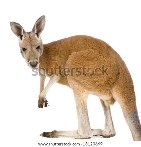 young red kangaroo (9 months) - Macropus rufus in front of a white background - stock photo