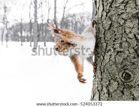 young red squirrel sitting on the tree trunk with held out paw, closeup view
