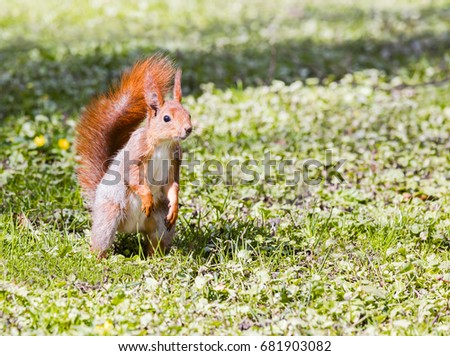 young red squirrel standing on green grass background closeup