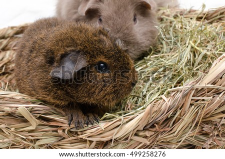 young rex guinea pig plays with friend in hay