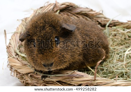 young rex guinea pig, 7 weeks old, gold agouti