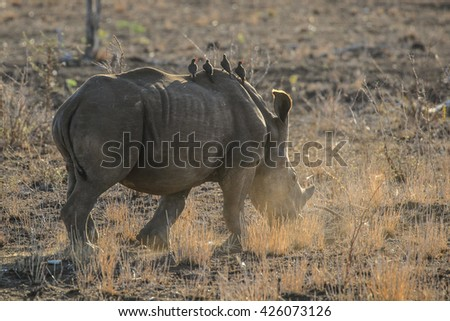 Young rhino calf running away in the dusty ground at sunrise - stock photo