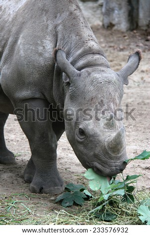 young rhino eating fresh leaves - stock photo