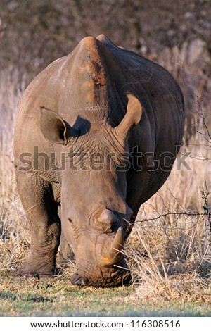 Young rhinoceros feeding on fresh green grass in the Rietvlei Dam nature reserve - stock photo