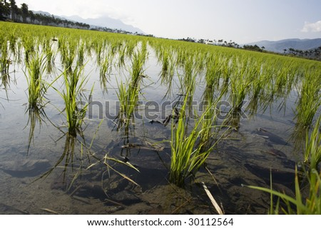 Young rice in a paddy field.  Rice is the food staple for millions of people, especially in Asia, Latin America and some parts of Africa.